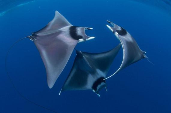 Ocean Art Competition, Mobula japanica, diavoli di mare
