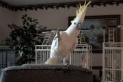 snowball-cockatoo