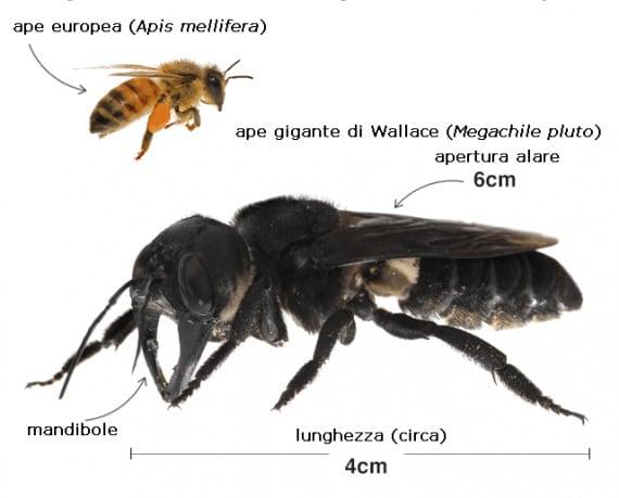 insetti, entomologia, melittologia, studio delle api, ape gigante di Wallace, Megachile pluto