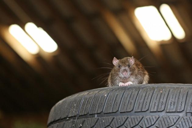 I ratti sanno guidare, e gli piace farlo