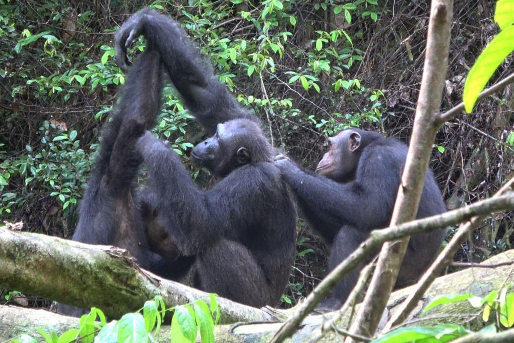 L'uomo sta erodendo la diversità culturale degli scimpanzé