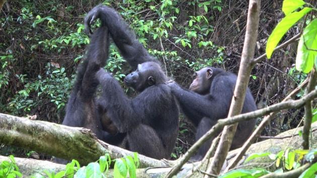 scimpanze-grooming