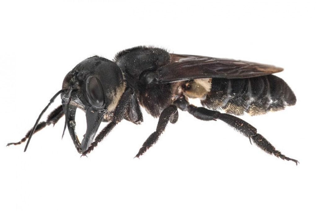 Alla ricerca delle specie perdute: l'ape gigante è (ancora) viva