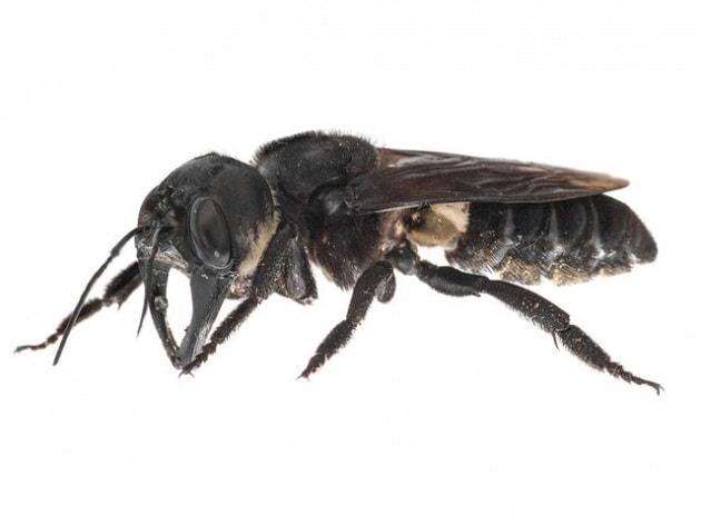 ape-gigante-di-wallace