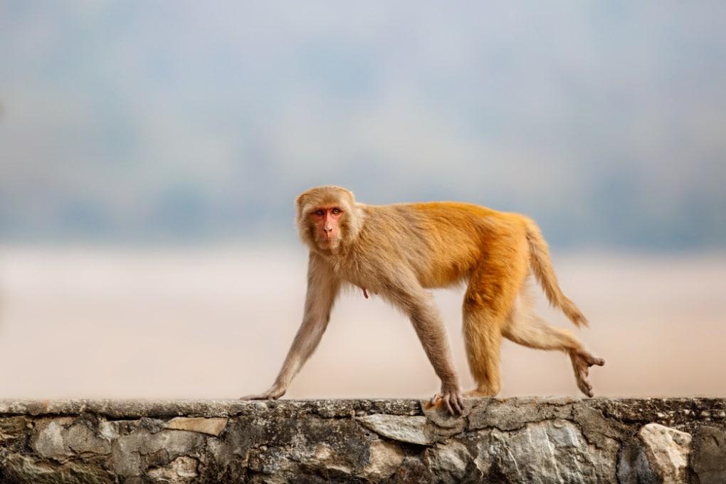Le scommesse delle scimmie rivelano un'area cerebrale implicata nei comportamenti a rischio