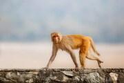 azzardo-scimmie