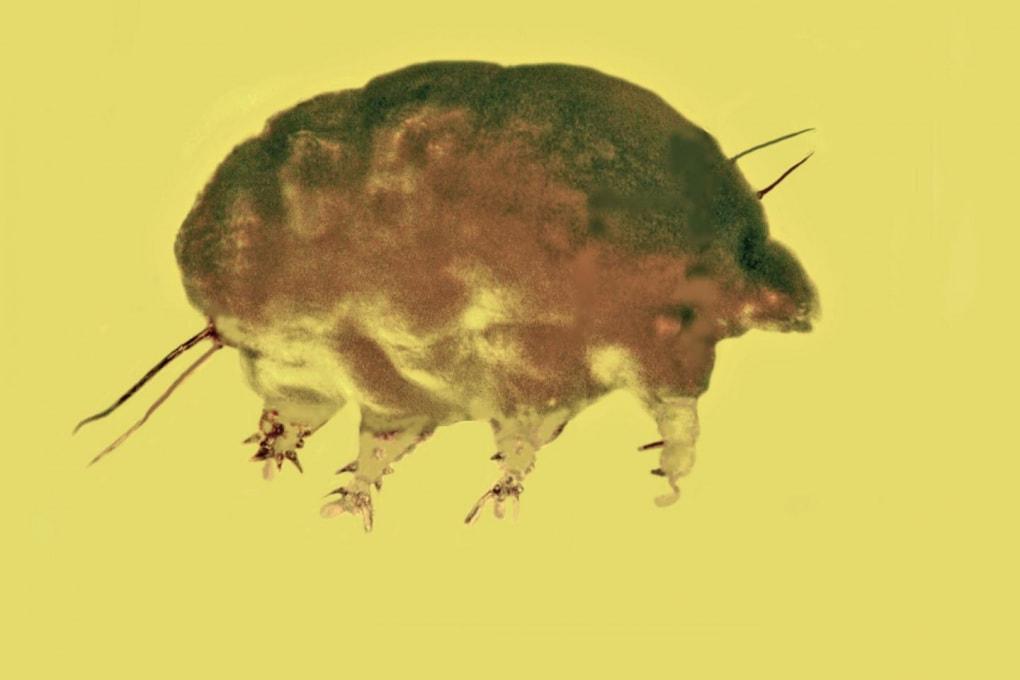 Ecco i maiali di muffa: un nuovo gruppo di invertebrati di 30 milioni di anni fa