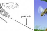 mosca-proboscide