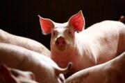 Sicurezza alimentare: il virus che uccide i maiali