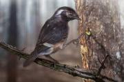 fossili: Elektorornis chenguangi, un uccello del Cretaceo