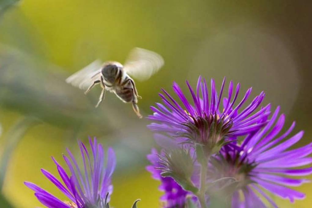 Il glifosato potrebbe contribuire indirettamente alla moria delle api
