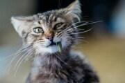 gatto-che-mangia-erba_shutterstock_1469990294