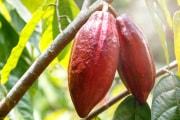 pianta-cacao