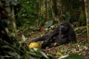 12_gorilla