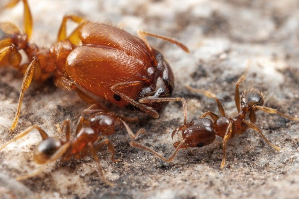L'evoluzione dei supersoldati nelle società di formiche guerriere