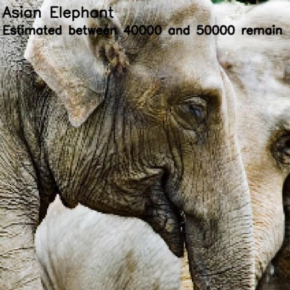 elefante asiatico (<i>Elephas maximus</i>)