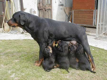La gravidanza nel cane - Gatto solo in casa per 15 giorni ...